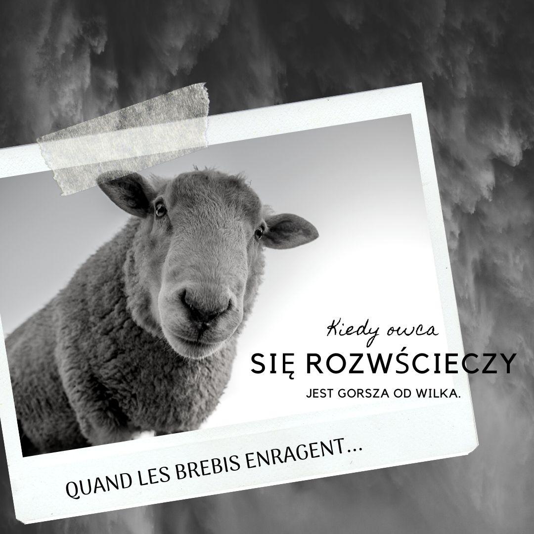 Kiedy owce się rozwściecza, są gorsze od wilka...